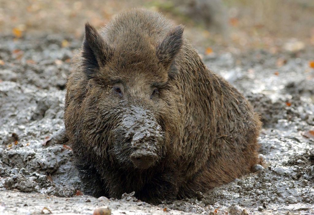 In franken gibt es eine wildschweinplage rechtfertigt das die jagd